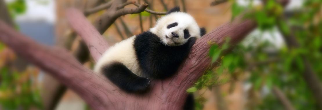 Panda, Panda sleeping on a tree